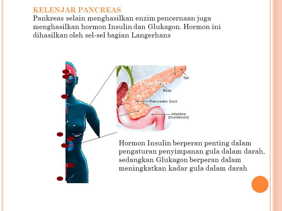 KELENJAR PANCREAS Pankreas selain menghasilkan enzim pencernaan juga menghasilkan hormon Insulin dan Glukagon. Hormon ini dihasilkan oleh sel-sel bagi