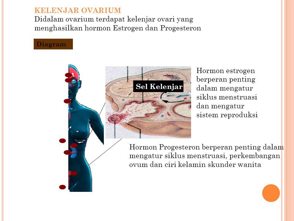 KELENJAR OVARIUM Didalam ovarium terdapat kelenjar ovari yang menghasilkan hormon Estrogen dan Progesteron Pancreas Hormon estrogen berperan penting d