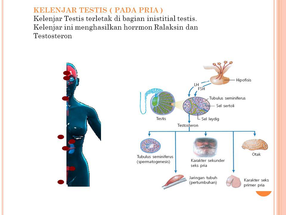 KELENJAR TESTIS ( PADA PRIA ) Kelenjar Testis terletak di bagian inistitial testis. Kelenjar ini menghasilkan horrmon Ralaksin dan Testosteron