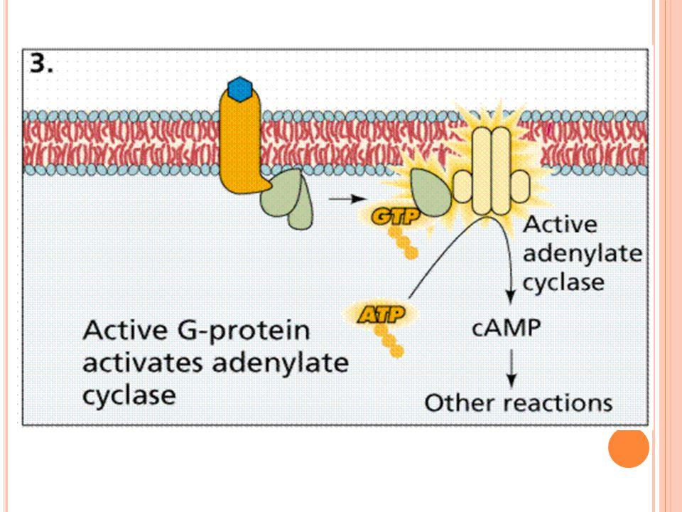 M EKANISME KERJA HORMON ( STEROID ) Melewati 2 tahap: Hormon steorid memasuki sel Berikatan dg membran reseptor inti menghasilkan kompleks aktif hormone-receptor complex