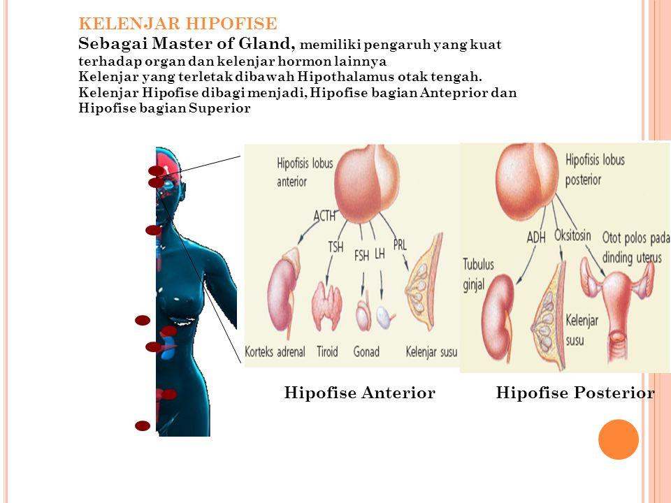 KELENJAR HIPOFISE Sebagai Master of Gland, memiliki pengaruh yang kuat terhadap organ dan kelenjar hormon lainnya Kelenjar yang terletak dibawah Hipot