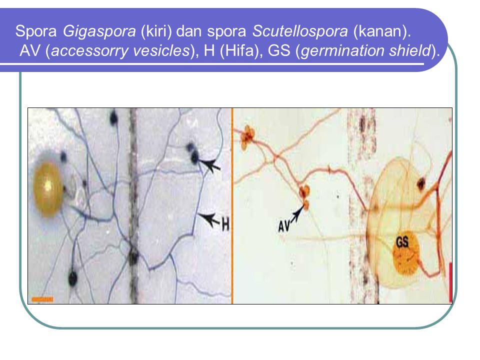 Spora Gigaspora (kiri) dan spora Scutellospora (kanan). AV (accessorry vesicles), H (Hifa), GS (germination shield).