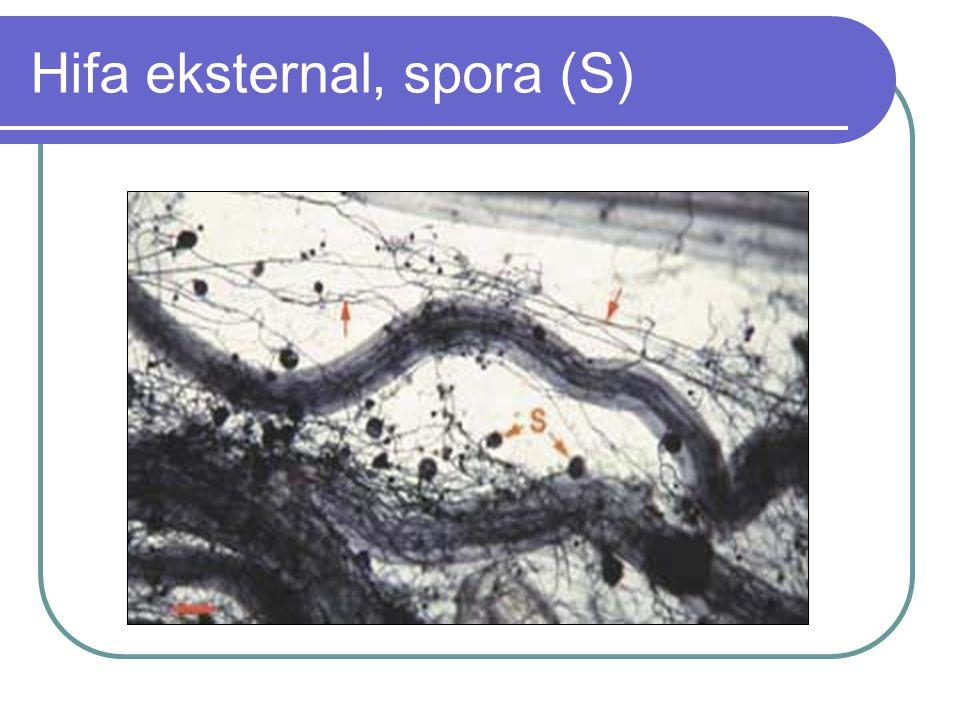 Hifa eksternal, spora (S)