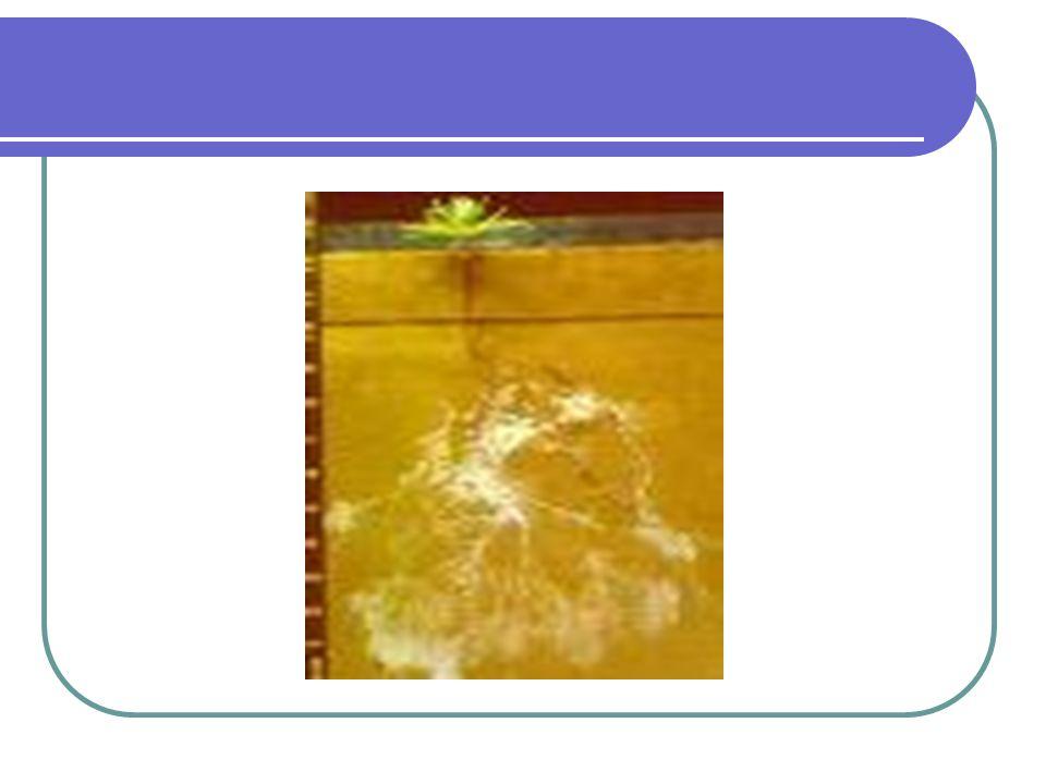 Hifa endomikoriza membentuk karakteristik yang khas di dalam sel akar yaitu Arbuskel, hifa yang tumbuh dalam sel akar, sehingga ukuran sel menjadi lebih besar dari sel yang tidak ada arbuskel nya Vesikel ditengarai sebagai cadangan nutrisi Dari golongan ini dikenal dengan nama Cendawan Mikoriza Arbuskular (CMA)
