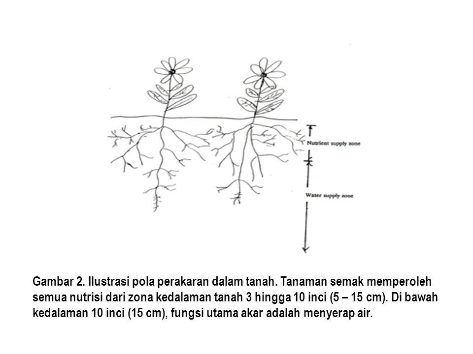Gambar 2. Ilustrasi pola perakaran dalam tanah. Tanaman semak memperoleh semua nutrisi dari zona kedalaman tanah 3 hingga 10 inci (5 – 15 cm). Di bawa