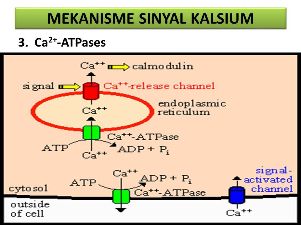 MEKANISME SINYAL KALSIUM 3. Ca 2+ -ATPases