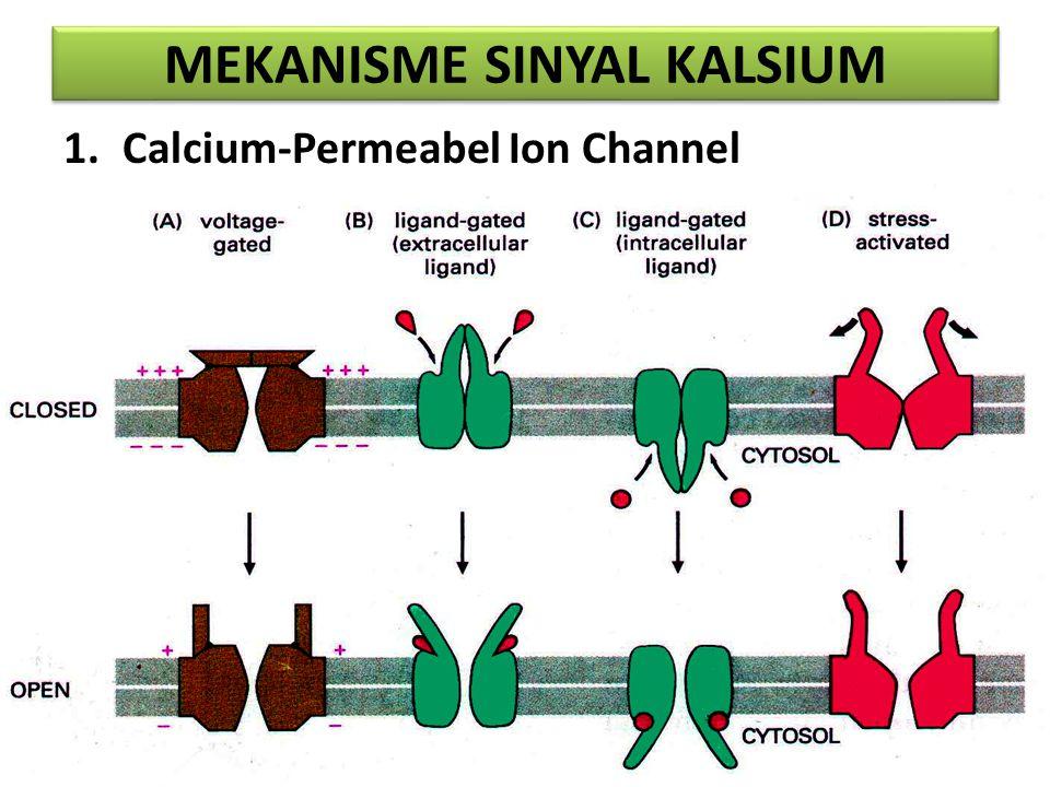 MEKANISME SINYAL KALSIUM 1.Calcium-Permeabel Ion Channel