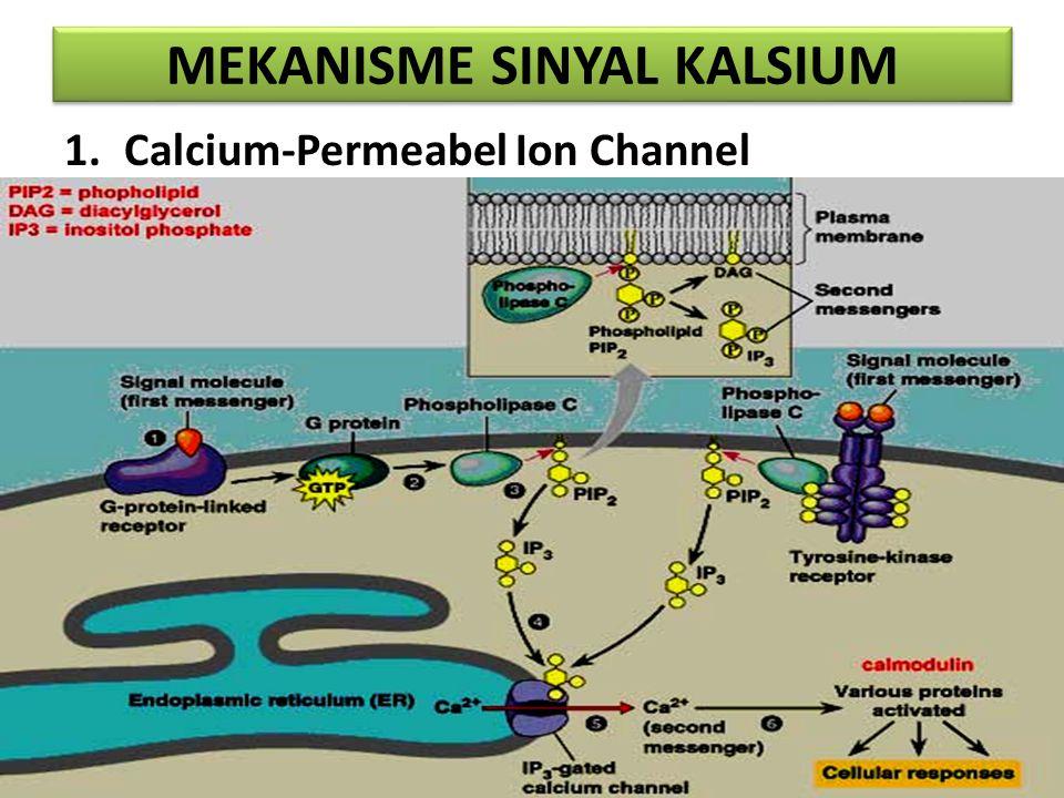 MEKANISME SINYAL KALSIUM 2. Ca 2+ / H + Antiporter