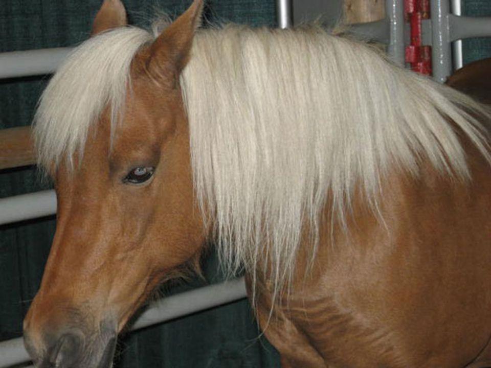 Quarter Horse kecepatan Larinya 76 km/jam