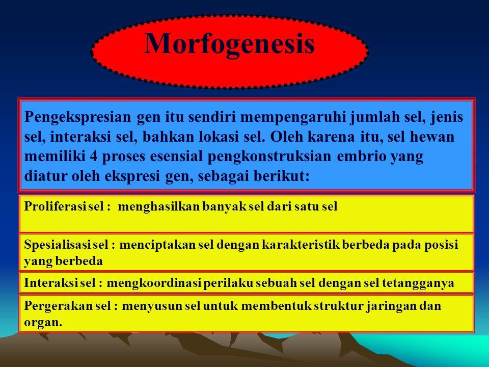 Morfogenesis Pengekspresian gen itu sendiri mempengaruhi jumlah sel, jenis sel, interaksi sel, bahkan lokasi sel. Oleh karena itu, sel hewan memiliki
