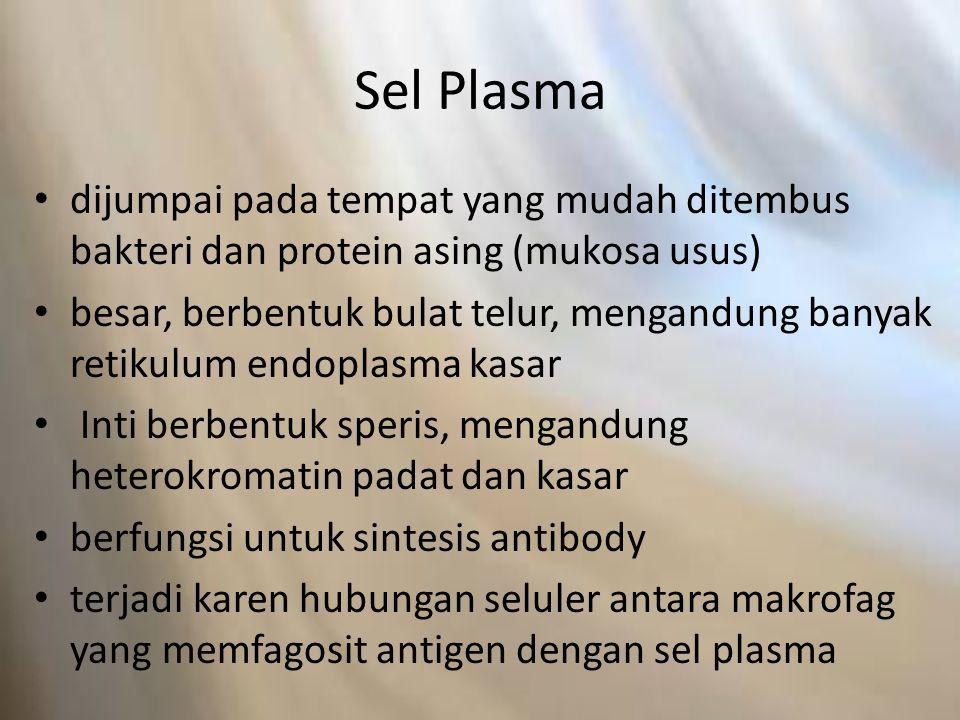 Sel Plasma dijumpai pada tempat yang mudah ditembus bakteri dan protein asing (mukosa usus) besar, berbentuk bulat telur, mengandung banyak retikulum endoplasma kasar Inti berbentuk speris, mengandung heterokromatin padat dan kasar berfungsi untuk sintesis antibody terjadi karen hubungan seluler antara makrofag yang memfagosit antigen dengan sel plasma