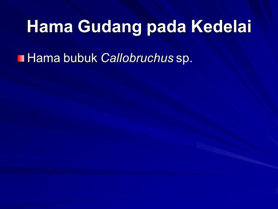 Hama Gudang pada Kedelai Hama bubuk Callobruchus sp.