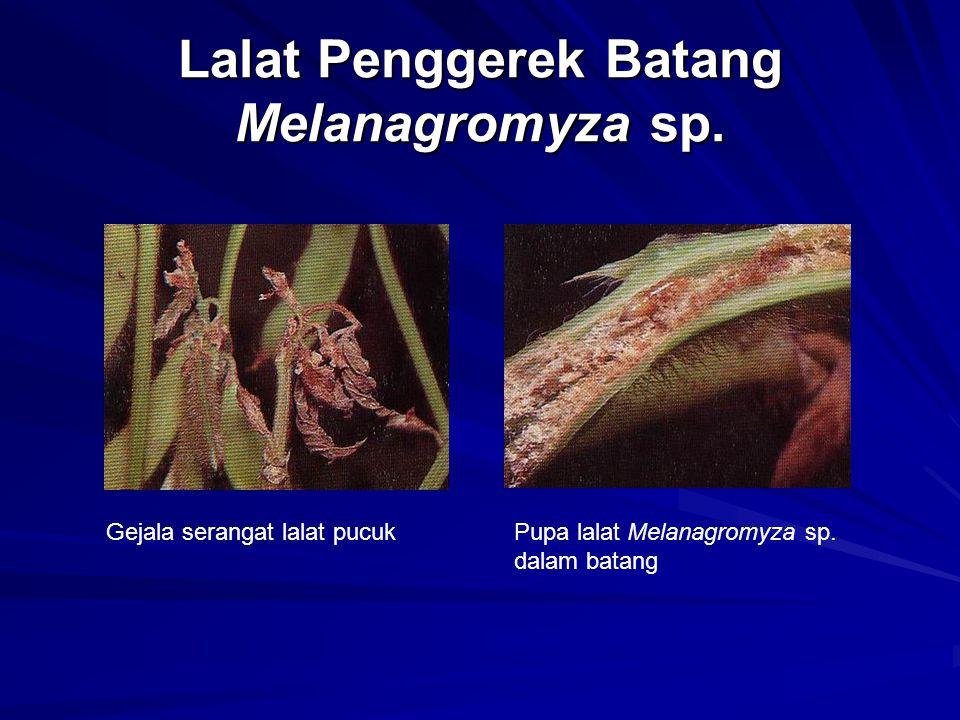 Lalat Penggerek Batang Melanagromyza sp. Gejala serangat lalat pucukPupa lalat Melanagromyza sp. dalam batang