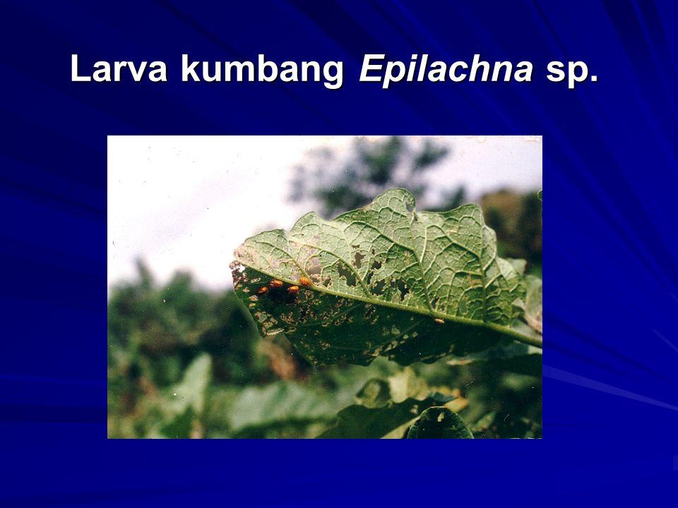 Larva kumbang Epilachna sp.