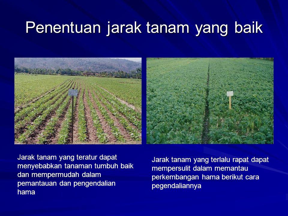 Penentuan jarak tanam yang baik Jarak tanam yang teratur dapat menyebabkan tanaman tumbuh baik dan mempermudah dalam pemantauan dan pengendalian hama