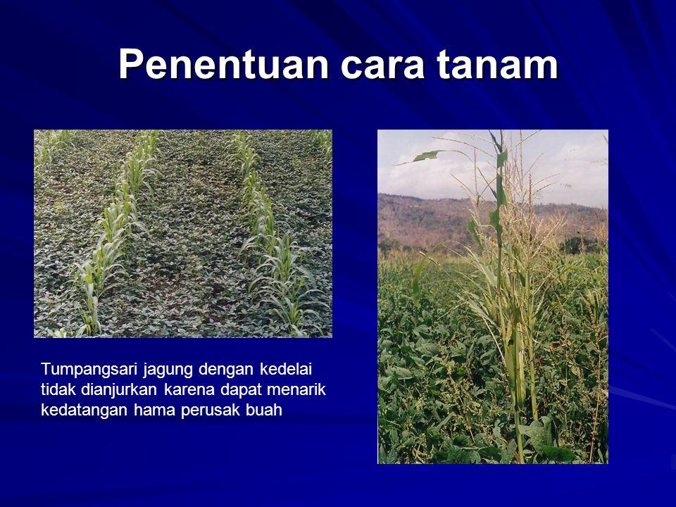 Penentuan cara tanam Tumpangsari jagung dengan kedelai tidak dianjurkan karena dapat menarik kedatangan hama perusak buah