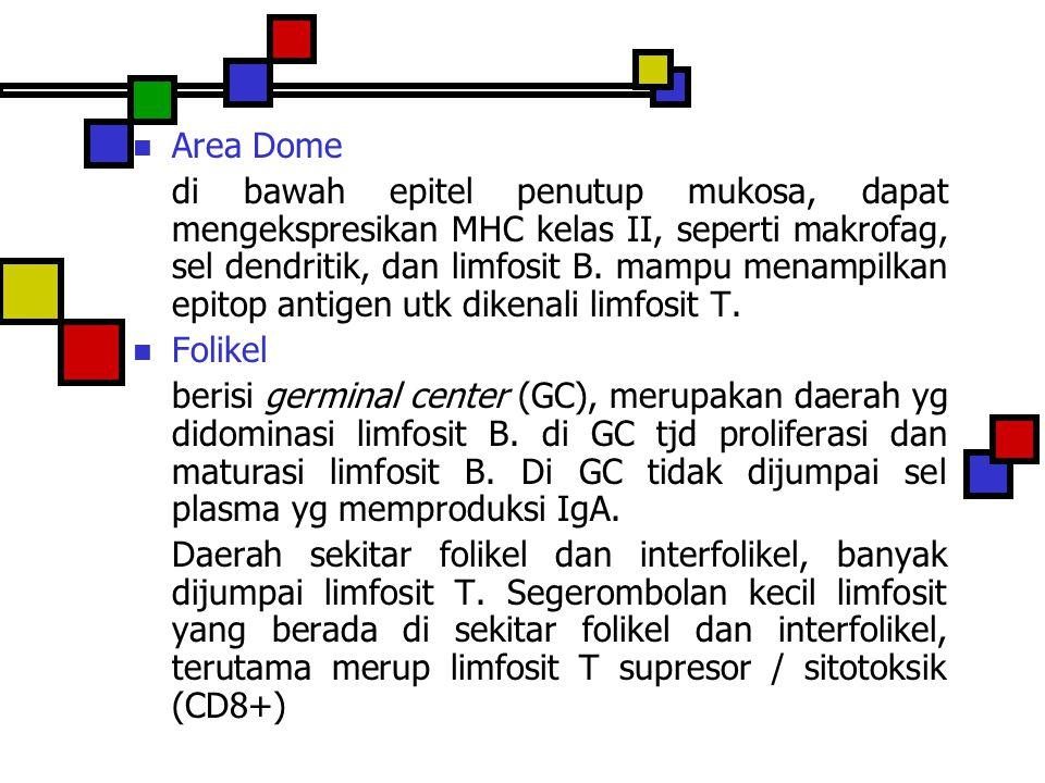 Area Dome di bawah epitel penutup mukosa, dapat mengekspresikan MHC kelas II, seperti makrofag, sel dendritik, dan limfosit B. mampu menampilkan epito