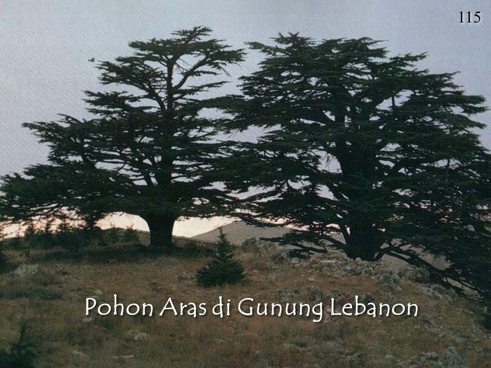 Pohon Aras di Gunung Lebanon 115