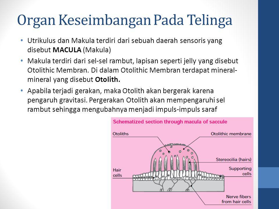 Utrikulus dan Makula terdiri dari sebuah daerah sensoris yang disebut MACULA (Makula) Makula terdiri dari sel-sel rambut, lapisan seperti jelly yang d