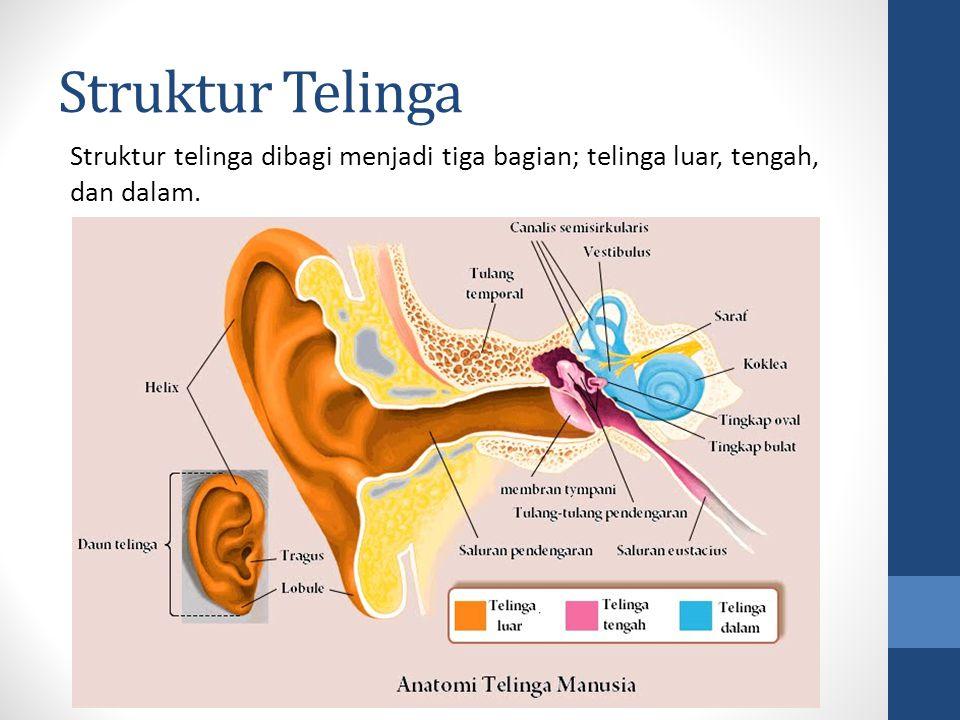 Fungsi Struktur Telinga TELINGA LUAR Auricle/Pinna (Daun Telinga); Menerima gelombang suara dan mengarahkannya ke telinga tengah Ear Canal (Lubang Telinga Luar); Menyalurkan suara ke gendang telinga (ear drum)