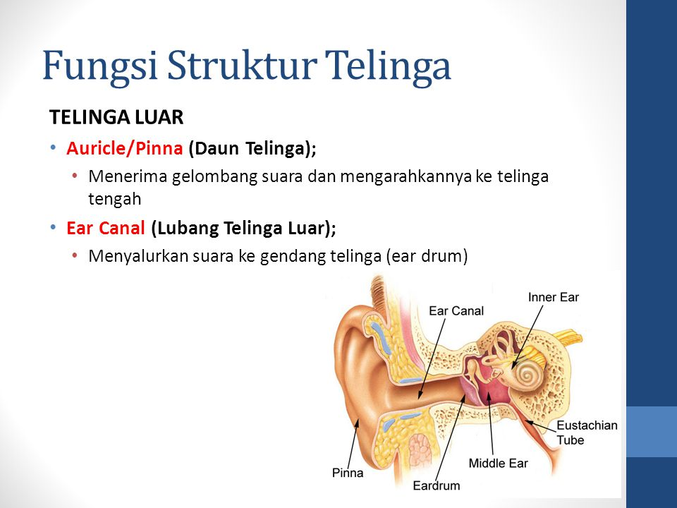 Fungsi Struktur Telinga TELINGA TENGAH Membran Tympani/Eardrum/Gendang Telinga; Melakukan getaran, mengirimkan gelombang suara ke tulang pendengaran Ossicles (Tlg Pendengaran) terdiri dari Malleus (Martil), Incus (Landasan), Stapes (Sanggurdi); Bersama-sama tulang ini mengirimkan gelombang suara dari membran tympani (telinga tengah) ke jendela ovalis di telinga dalam Tympanic Cavity (Rongga Timpani); Rongga berisi udara yang dilalui oleh gelombang suara Eustachian/Auditory Tube (Saluran Eustachius); Mengatur kadar tekanan udara di dalam rongga timfani