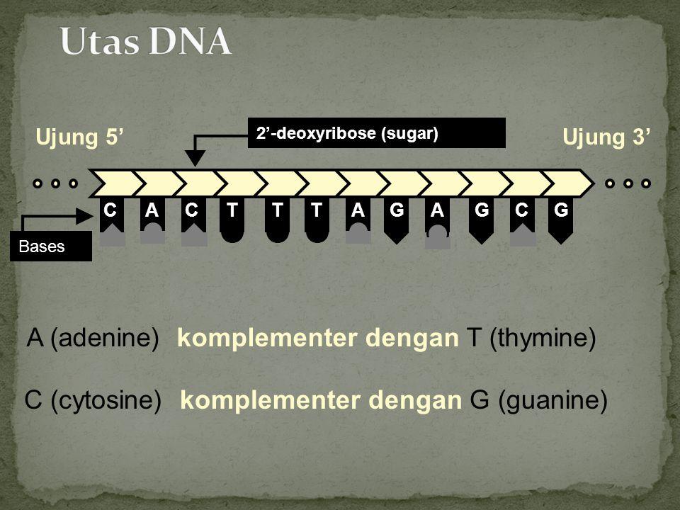 C (cytosine) komplementer dengan G (guanine) CTCAATTGAGCG Bases A (adenine) komplementer dengan T (thymine) 2'-deoxyribose (sugar) Ujung 5'Ujung 3'