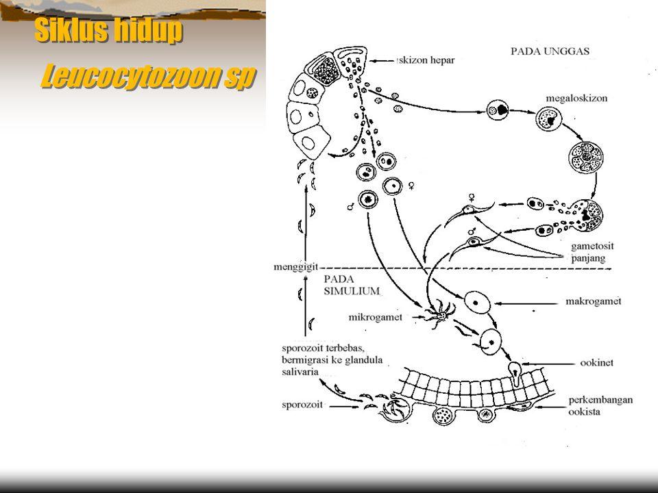 Siklus hidup Leucocytozoon sp