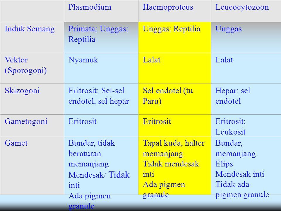 PlasmodiumHaemoproteusLeucocytozoon Induk SemangPrimata; Unggas; Reptilia Unggas; ReptiliaUnggas Vektor (Sporogoni) NyamukLalat SkizogoniEritrosit; Sel-sel endotel, sel hepar Sel endotel (tu Paru) Hepar; sel endotel GametogoniEritrosit Eritrosit; Leukosit GametBundar, tidak beraturan memanjang Mendesak/ Tidak inti Ada pigmen granule Tapal kuda, halter memanjang Tidak mendesak inti Ada pigmen granule Bundar, memanjang Elips Mendesak inti Tidak ada pigmen granule