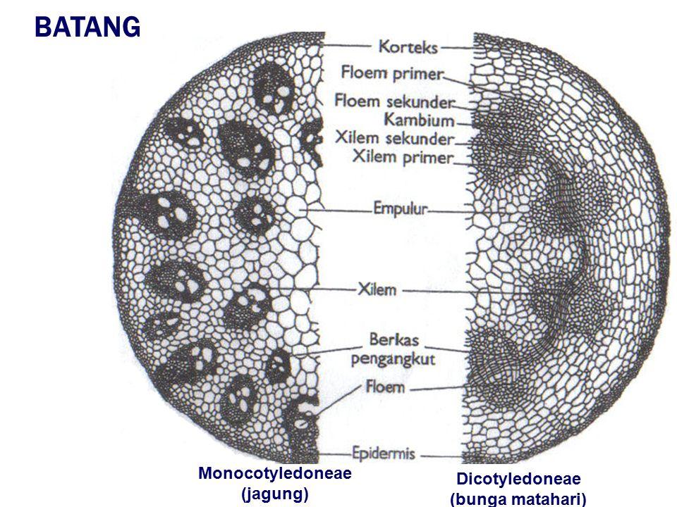 papan tapis sel penyerta pori FLOEM XILEM buluh kecil di akar buluh besar di batang Dinding sel antar buluh hilang XILEM DAN FLOEM TERSUSUN DALAM SATU