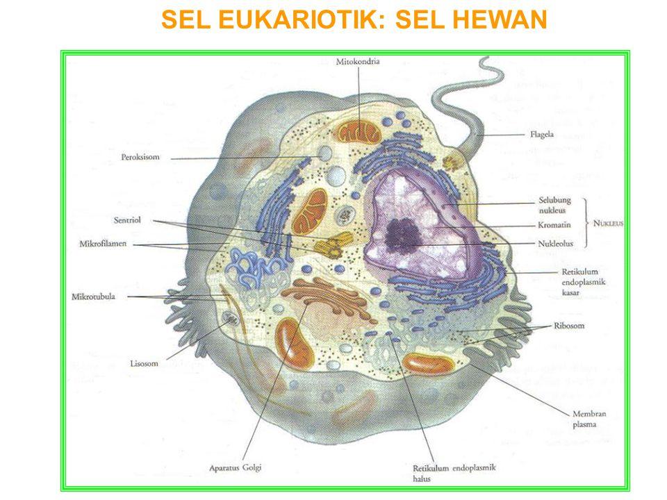 ORGANELPROKARIOTEUKARIOT Inti sel RibosomRE Badan Golgi MitokondriaLisosomSentriolDNA Tanpa membran : nukleoid Pada sitoplasma Tidak ada Bentuk cincin
