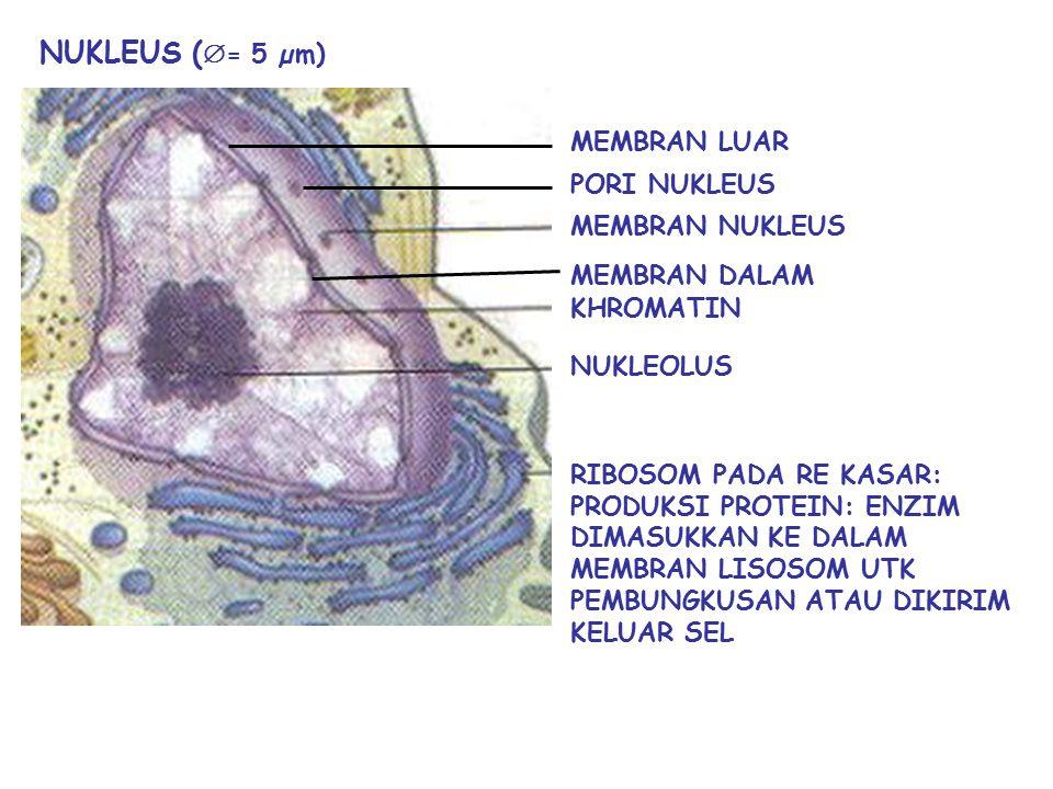 KOMPONEN UTAMA SEL MEMBRAN PLASMA (PLASMALEMMA) NUKLEUS SITOPLASMA  MEMBRAN PLASMA Sebagai Pelindung sel Pengatur bentuk sel Pengatur transportasi za