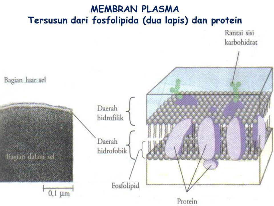 MEMBRAN NUKLEUS NUKLEUS (  = 5 µm) KHROMATIN NUKLEOLUS RIBOSOM PADA RE KASAR: PRODUKSI PROTEIN: ENZIM DIMASUKKAN KE DALAM MEMBRAN LISOSOM UTK PEMBUNG