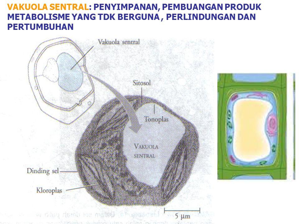 LISOSOM: PEMBENTUKAN DAN FUNGSI Membran plasma Materi Fagositosis Vakuole materi Vesikula materi mengandung enzim hidrolitik inaktif Lisosom Autofagi