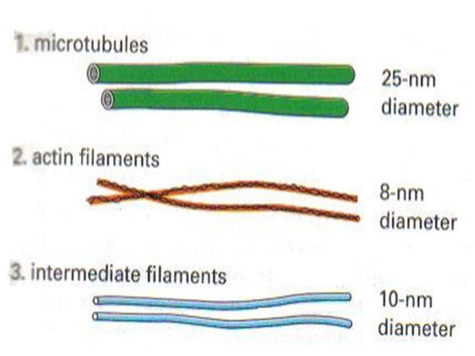 Sitoskeleton: serabut membentang di seluruh sitoplasma: mikrotubula (tebal), mikrofilamen atau filamen aktin (halus) dan filamen intermediat) Fungsi: