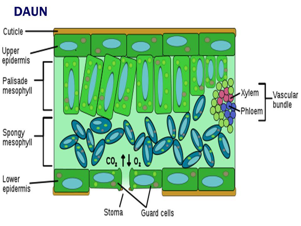  JARINGAN DERMAL (JARINGAN PELINDUNG) Epidermis tersusun dari selapis sel bersambungan meliputi seluruh tubuh tumbuhan bagian luar Berupa sel hidup b