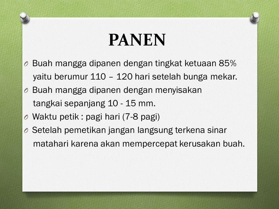PANEN O Buah mangga dipanen dengan tingkat ketuaan 85% yaitu berumur 110 – 120 hari setelah bunga mekar.