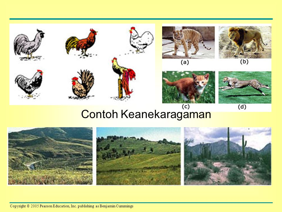 Copyright © 2005 Pearson Education, Inc. publishing as Benjamin Cummings Contoh Keanekaragaman