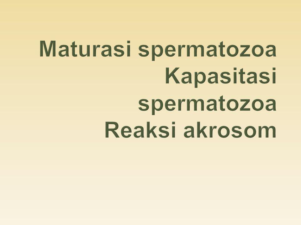  Maturasi (pendewasaan) diawali di epididimis  Spermatozoa testikular ditranspot ke rete testis, epididimis melalui saluran vas eferen (selapis sel epitel kolumnar bersilia & tidak bersilia), vas deferen, uretra, & penis  Kedua tipe sel epitel vas eferen mempunyai kemampuan untuk endositosis  Sel bersilia: menggerakkan cairan luminal dan spermatozoa  sel tidak bersilia: mengabsorbsi air dan ion-ion  Saluran eferent mengabsorbsi sebagian besar cairan dari testis, sehingga di epididimis konsentrasi spermatozoa menjadi meningkat