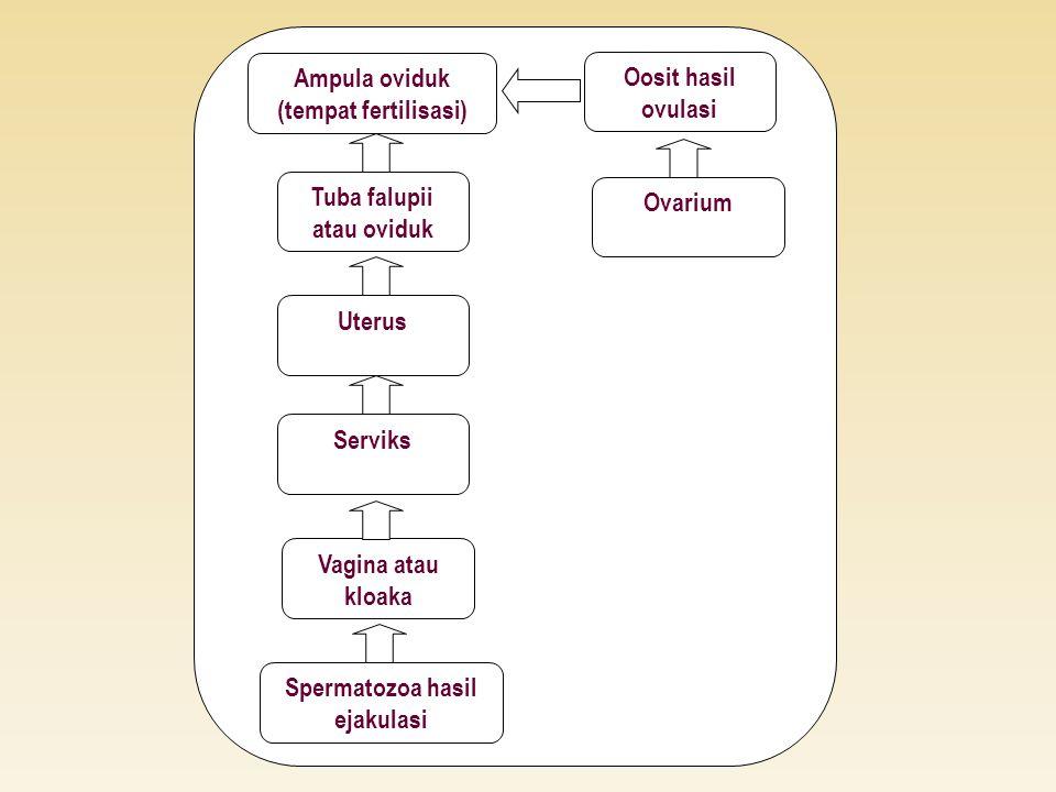 Spermatozoa hasil ejakulasi Vagina atau kloaka Serviks Uterus Tuba falupii atau oviduk Ampula oviduk (tempat fertilisasi) Oosit hasil ovulasi Ovarium