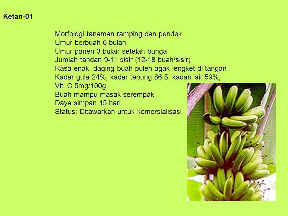 Ketan-01 Morfologi tanaman ramping dan pendek Umur berbuah 6 bulan Umur panen 3 bulan setelah bunga Jumlah tandan 9-11 sisir (12-18 buah/sisir) Rasa e