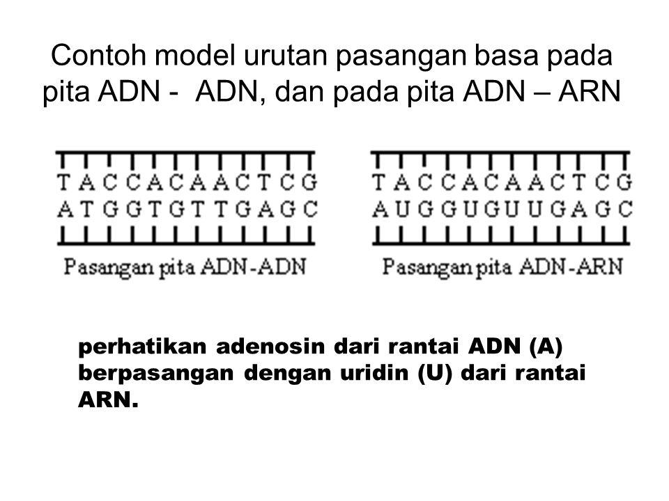 Contoh model urutan pasangan basa pada pita ADN - ADN, dan pada pita ADN – ARN perhatikan adenosin dari rantai ADN (A) berpasangan dengan uridin (U) d