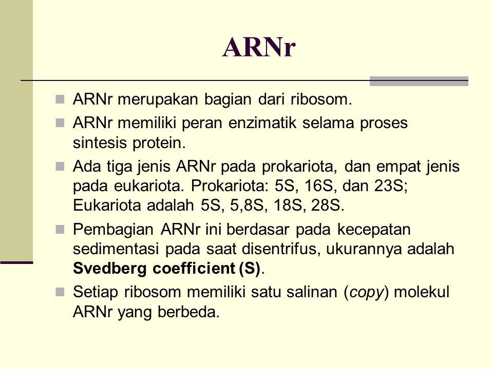 ARNr ARNr merupakan bagian dari ribosom. ARNr memiliki peran enzimatik selama proses sintesis protein. Ada tiga jenis ARNr pada prokariota, dan empat