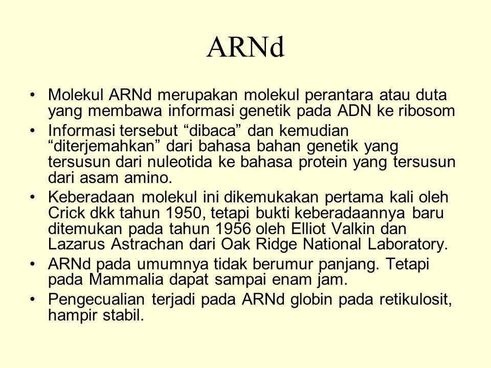 ARNd Molekul ARNd merupakan molekul perantara atau duta yang membawa informasi genetik pada ADN ke ribosom Informasi tersebut dibaca dan kemudian diterjemahkan dari bahasa bahan genetik yang tersusun dari nuleotida ke bahasa protein yang tersusun dari asam amino.