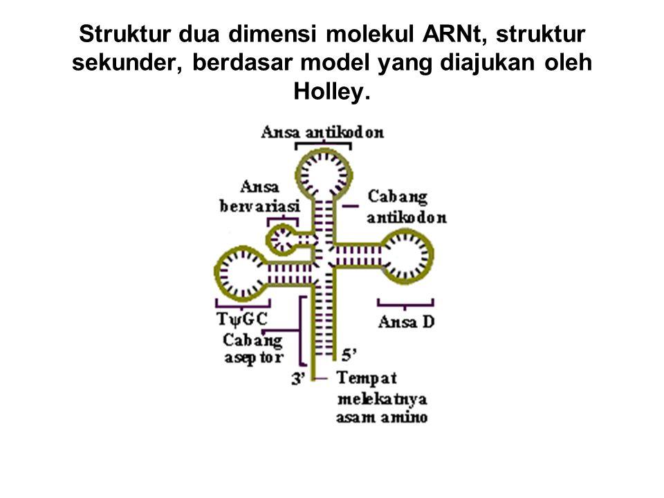 Struktur dua dimensi molekul ARNt, struktur sekunder, berdasar model yang diajukan oleh Holley.