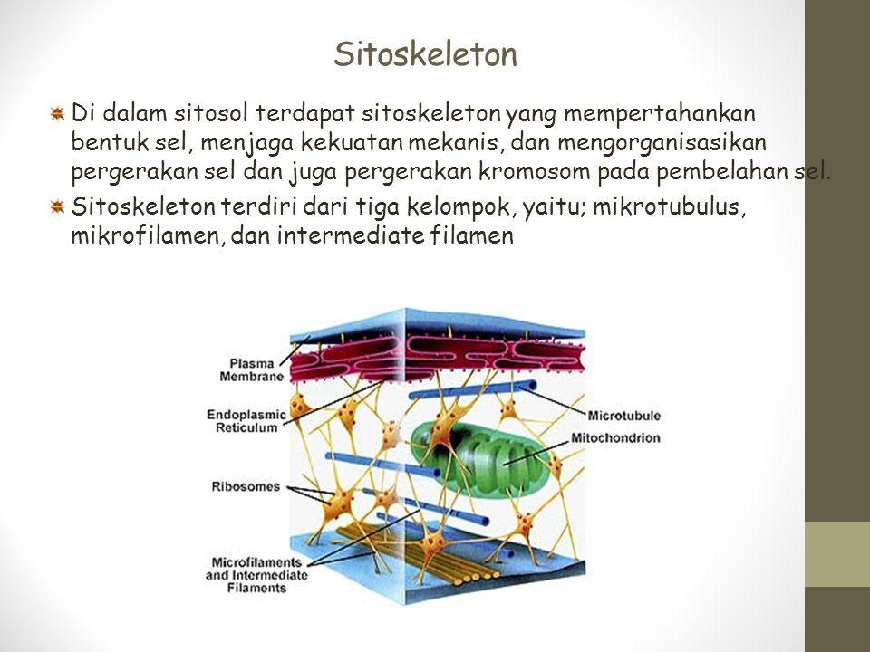 Sitoskeleton Di dalam sitosol terdapat sitoskeleton yang mempertahankan bentuk sel, menjaga kekuatan mekanis, dan mengorganisasikan pergerakan sel dan