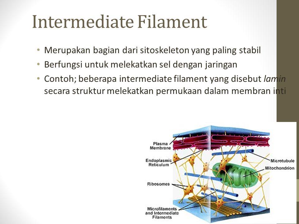 Intermediate Filament Merupakan bagian dari sitoskeleton yang paling stabil Berfungsi untuk melekatkan sel dengan jaringan Contoh; beberapa intermedia