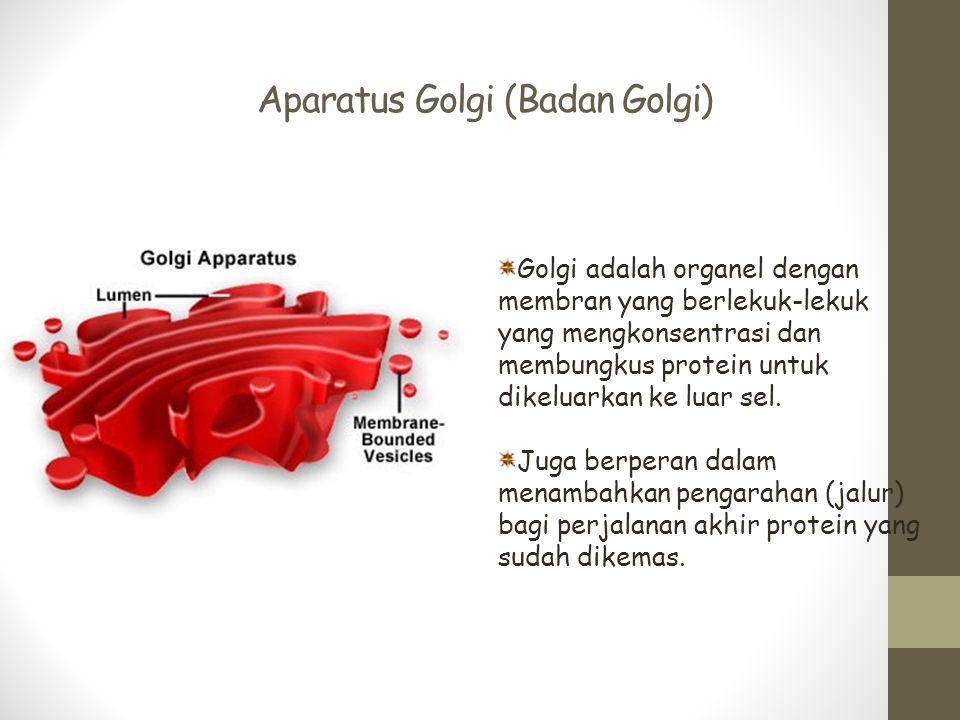 Aparatus Golgi (Badan Golgi) Golgi adalah organel dengan membran yang berlekuk-lekuk yang mengkonsentrasi dan membungkus protein untuk dikeluarkan ke