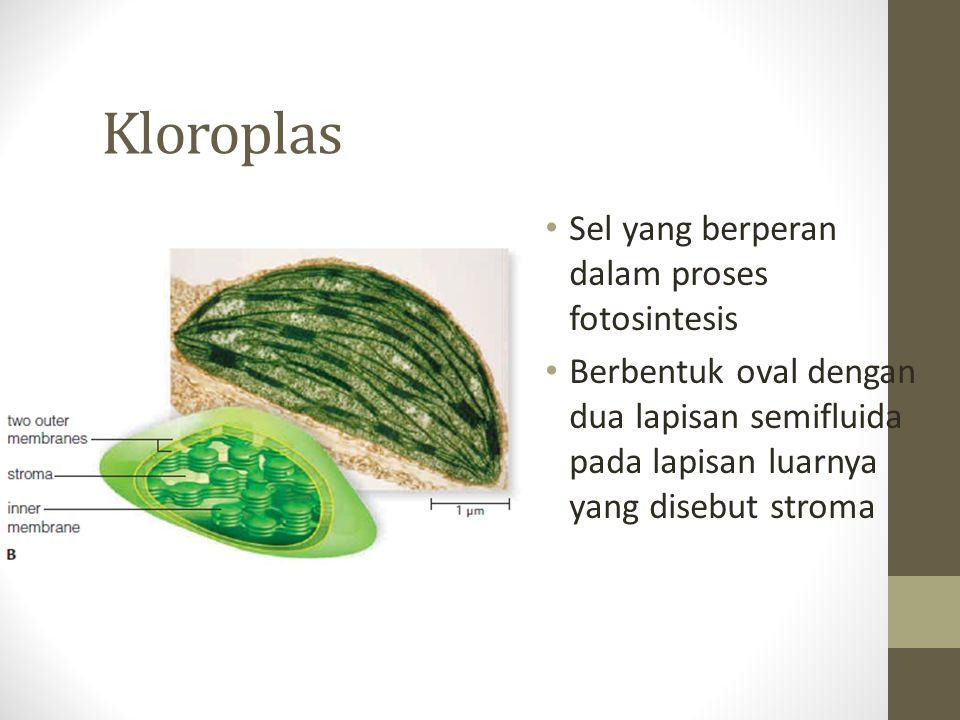 Kloroplas Sel yang berperan dalam proses fotosintesis Berbentuk oval dengan dua lapisan semifluida pada lapisan luarnya yang disebut stroma