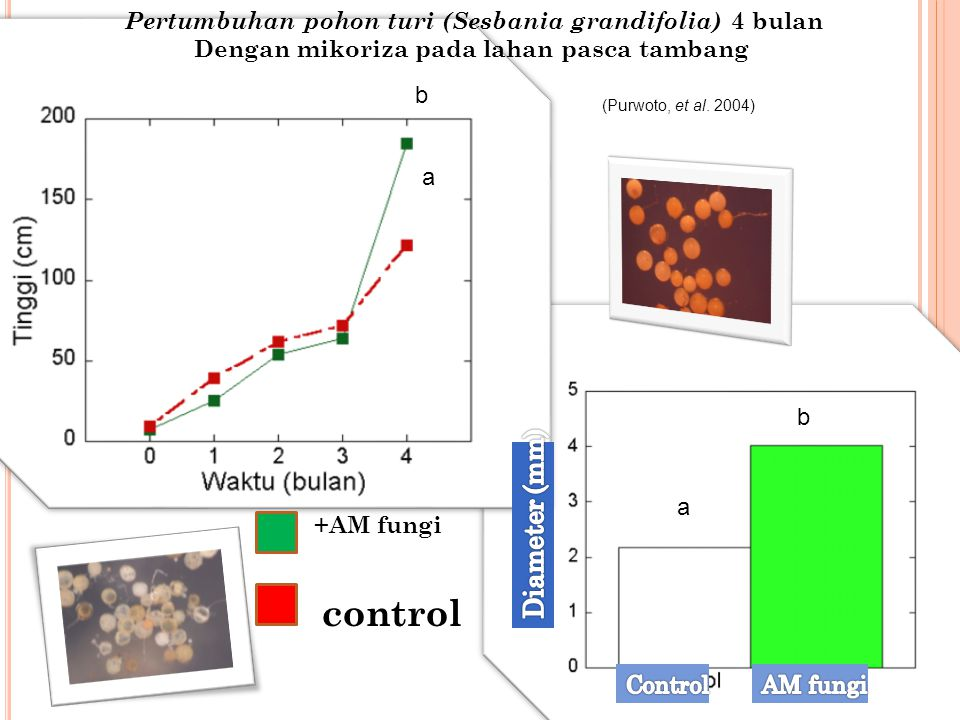 Pertumbuhan pohon turi (Sesbania grandifolia) 4 bulan Dengan mikoriza pada lahan pasca tambang +AM fungi control b a b a (Purwoto, et al. 2004)