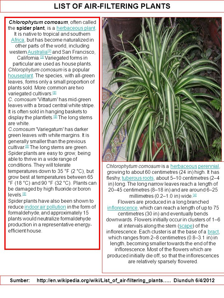 LIST OF AIR-FILTERING PLANTS Sumber: http://en.wikipedia.org/wiki/List_of_air-filtering_plants….. Diunduh 6/4/2012 Chlorophytum comosum, often called